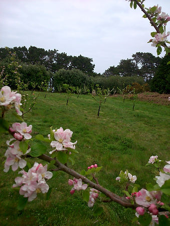 Community Orchard, St Mary's, Isles of Scily