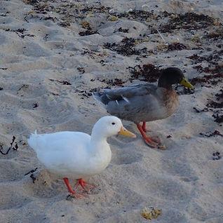 Porthcressa ducks