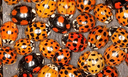 Harlequin ladybirds