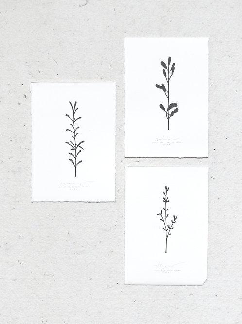 Botanical shadows | rosmarinus, salvia, thymes