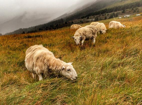 → Moutons écossais