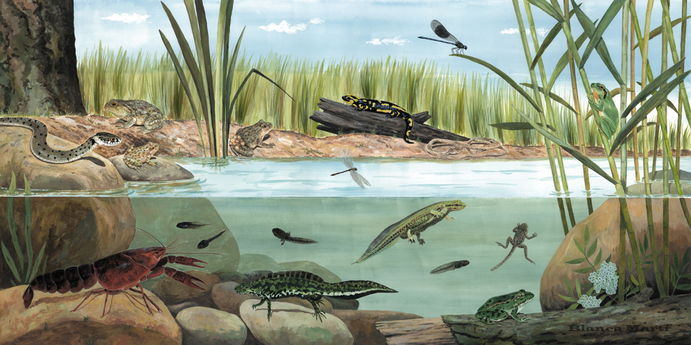 Ecosistema de la bassa