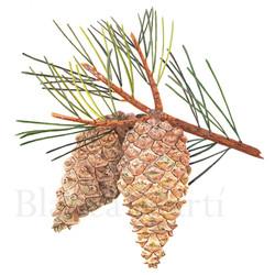 Pino albar. Pinus sylvestris