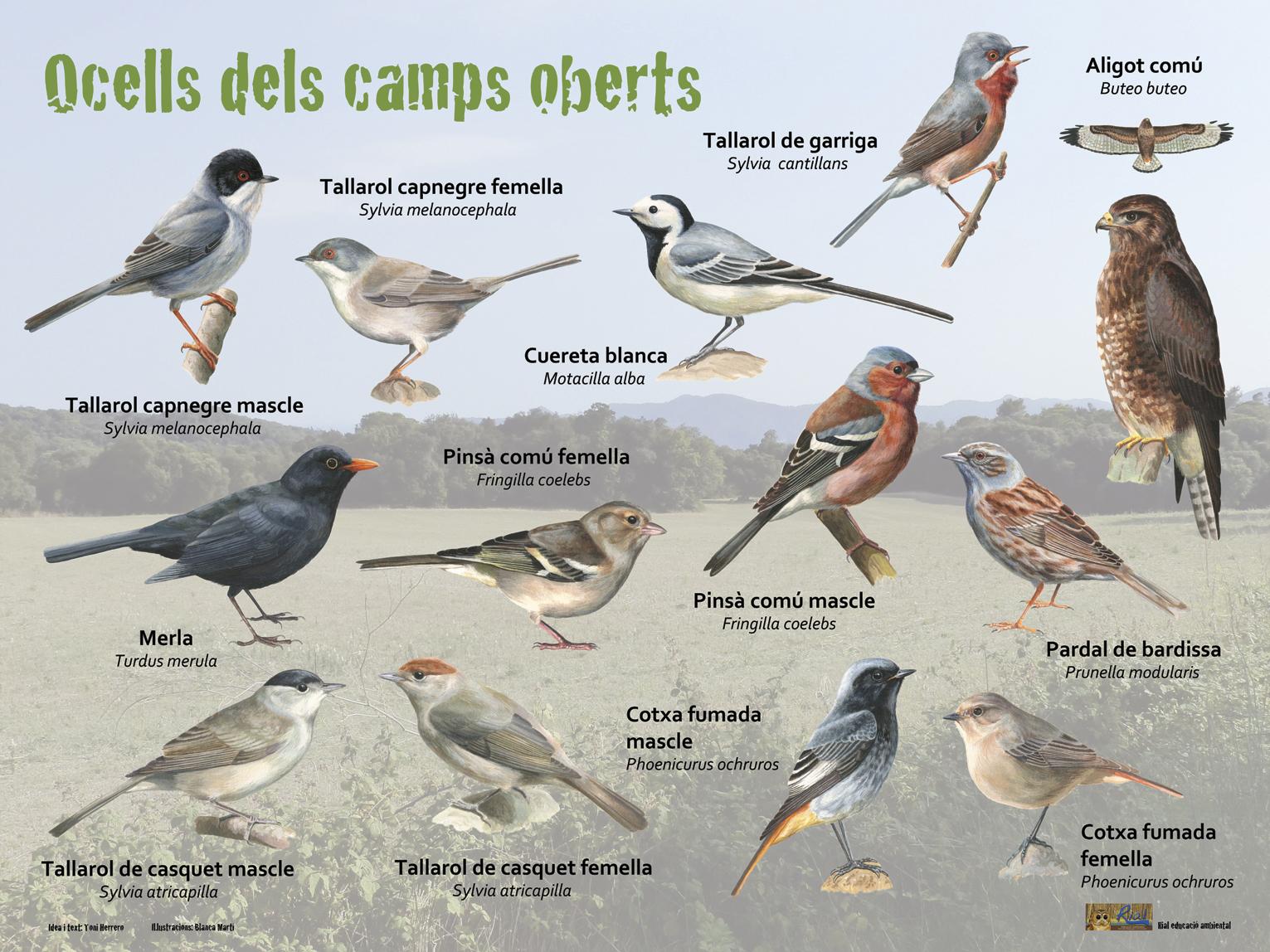 Ocells dels camps oberts
