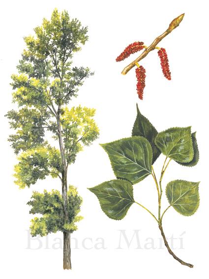 Álamo negro. Populus nigra