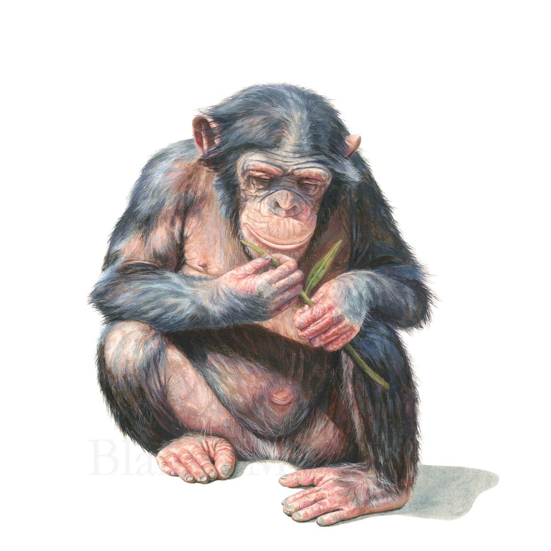 Manipulación en chimpancés