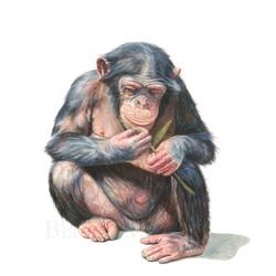 Manipulació en ximpanzés