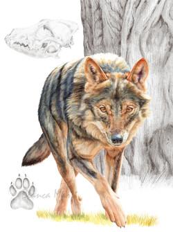 El retorn del llop