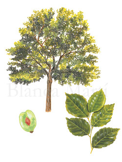 Ulmus minor.