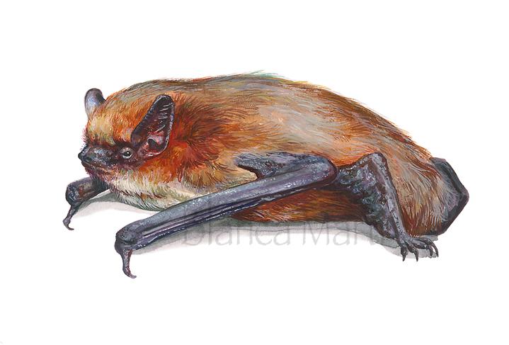 Pipistrela común