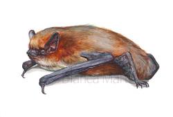 Pipistrel.la comuna