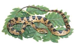 Leptodeira annulata