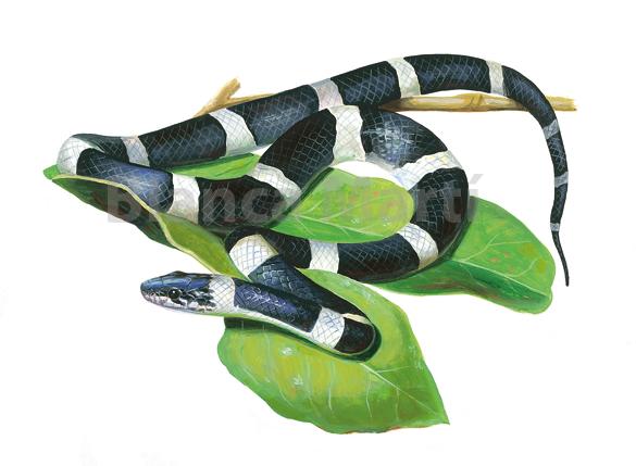 Leptodeira nigrofasciata