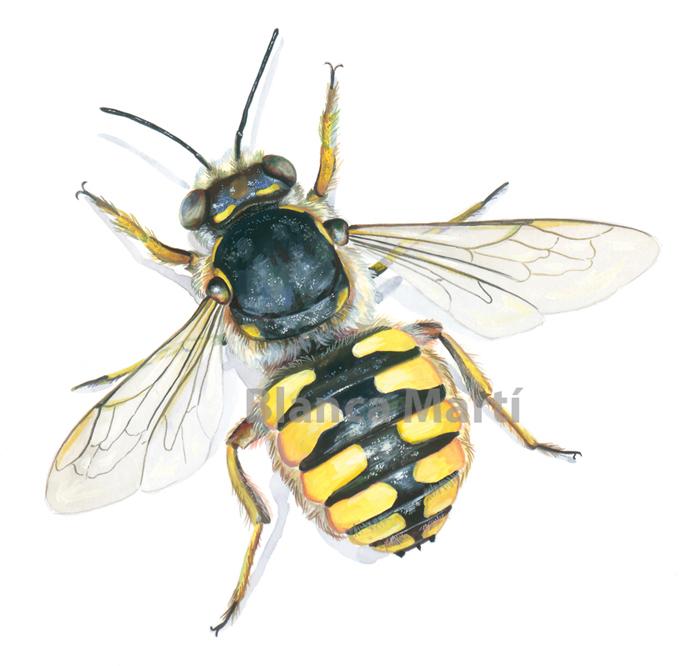 Osmia (abeja)