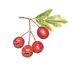 Fruto del majuelo