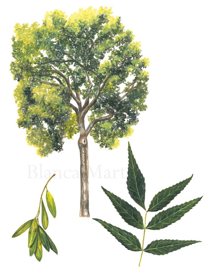 Ash Tree. Fraxinus angustifolia