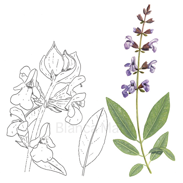 Salvia. Salvia officinalis L.