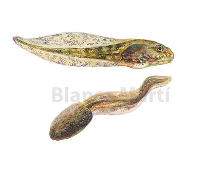 Pelophylax perezi