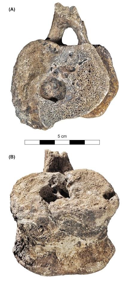 PNAS_Hadrosaur_Vertebrae_Fig_5-Photo (1)