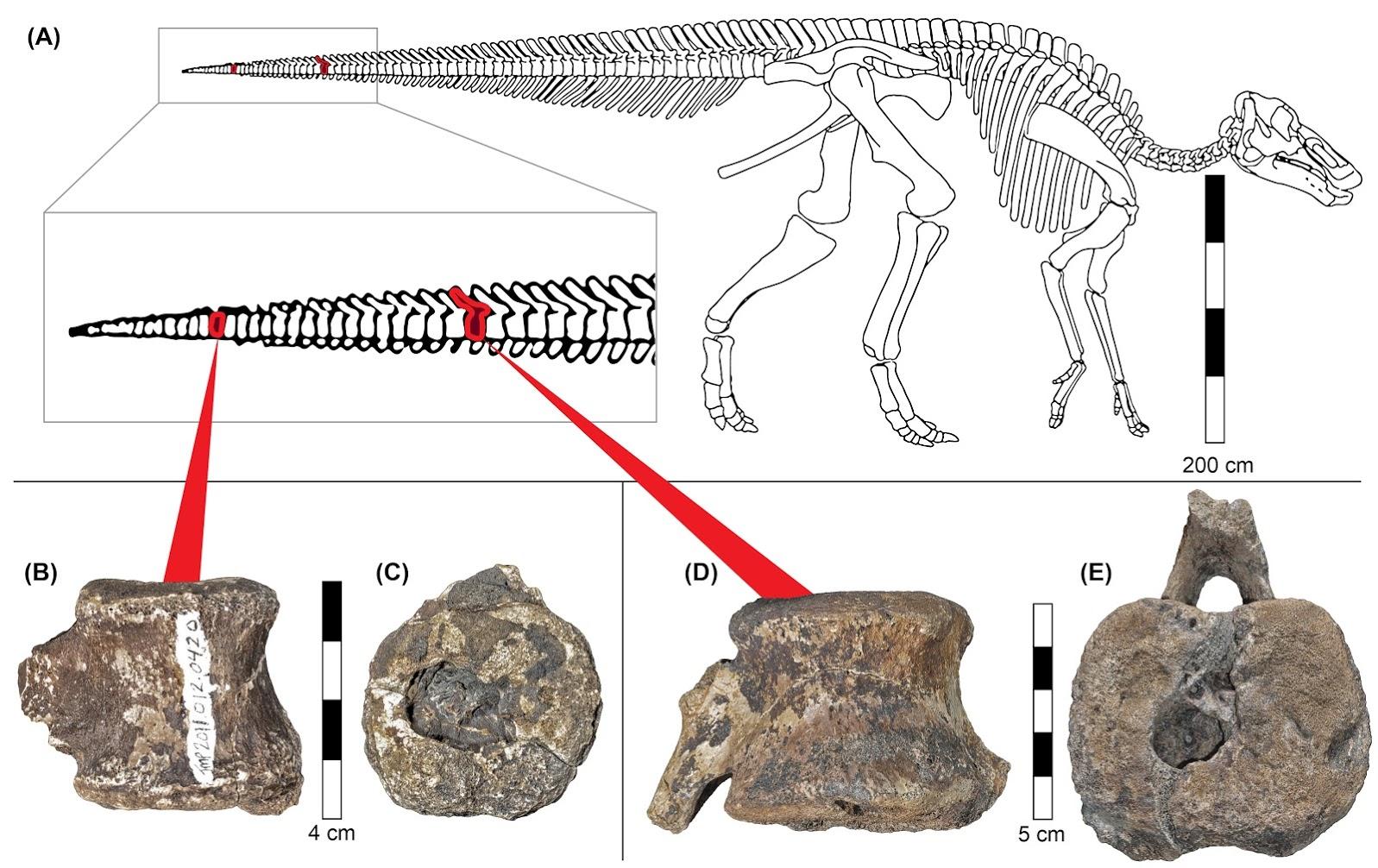 PNAS_Hadrosaur_Vertebrae_Fig_1-Overview