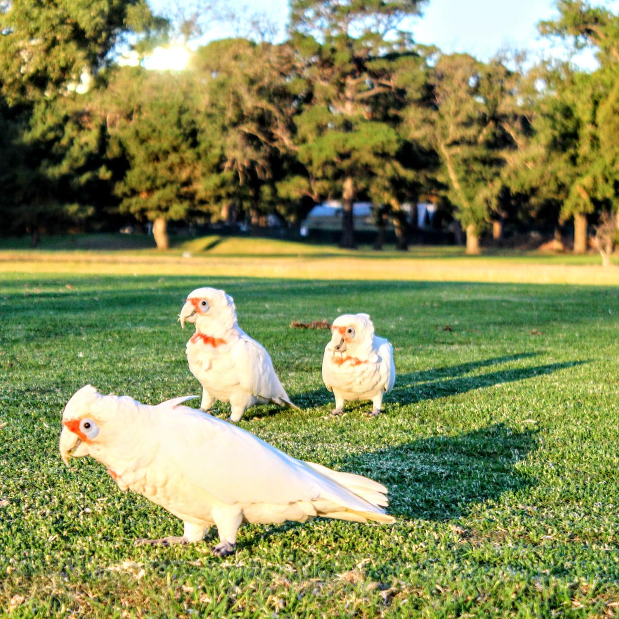 Vogels in Albert Park