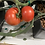 Thumbnail: Large Tomato
