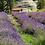 Thumbnail: Lavendel