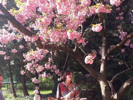 Meditatie, Stilte & Thee onder de Japanse Kerselaar