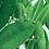 Thumbnail: Ravintsara