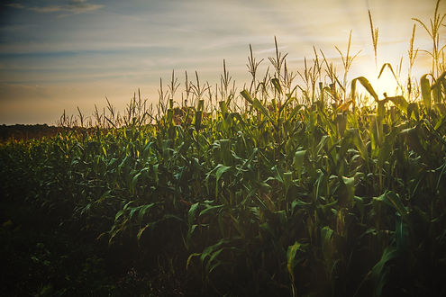 agriculture-cereal-corn-1382102.jpg