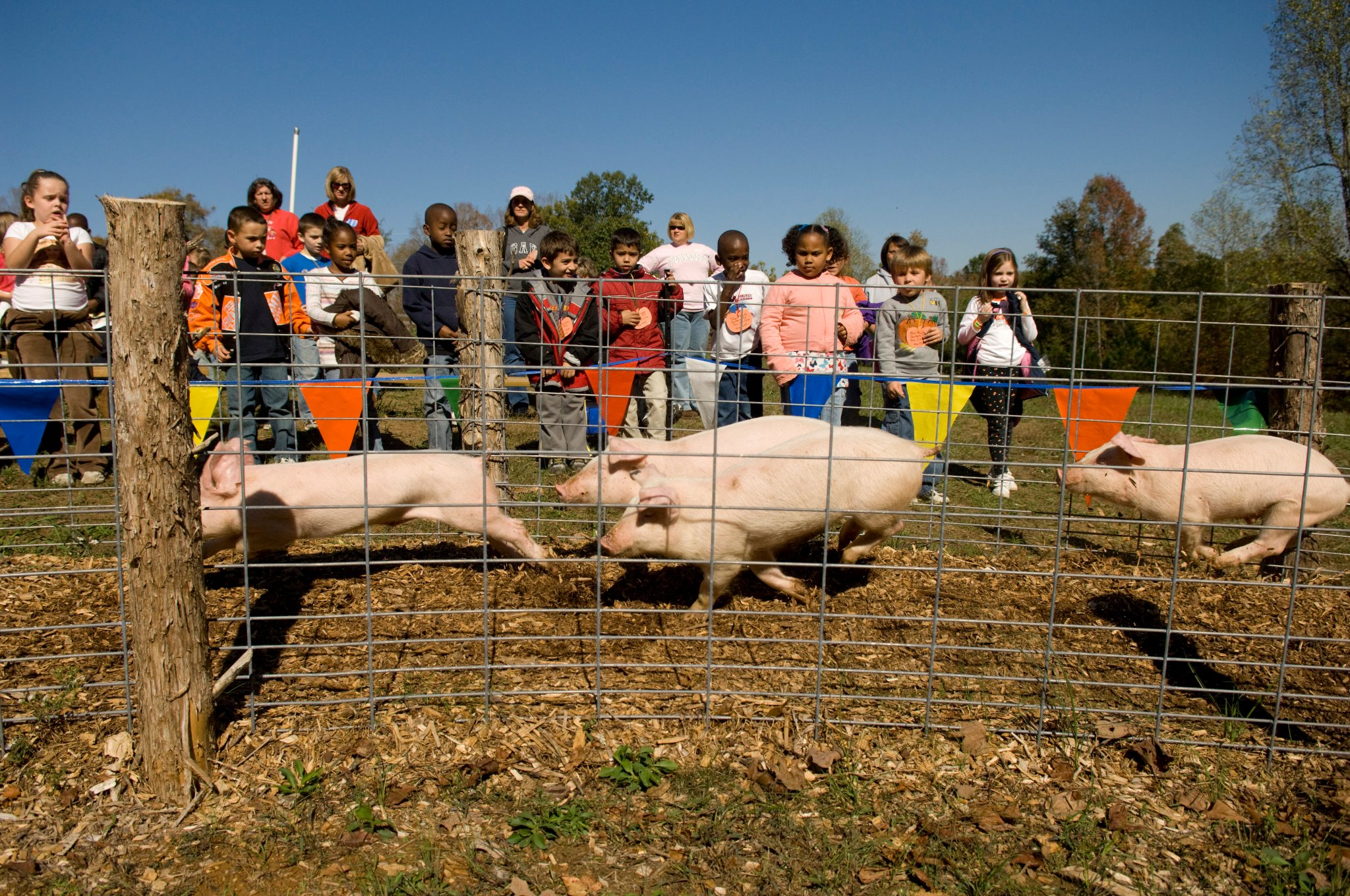 HILLBILLY PIG RACES