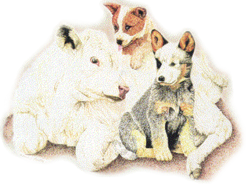Australian Cattle Dogs