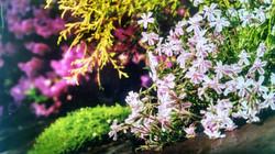 Phlox and Scottish Moss