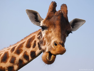 What do Giraffes and Humans have in common?