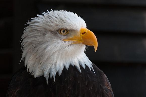 bald-eagle 12345