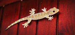 GeckoBali.jpg
