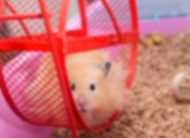 Hamster in hamster Wheel