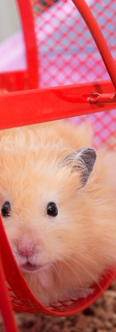 Hamsterwiel