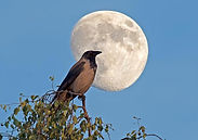 crow_moon_icon.jpg