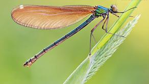 A medicina da libélula