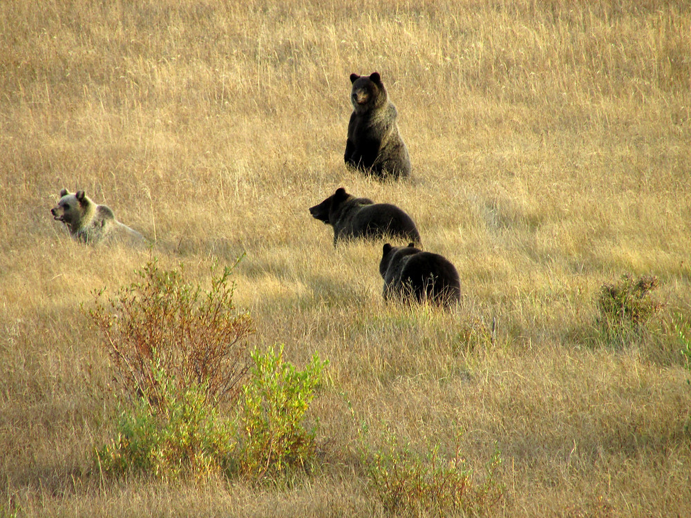 Four Grizzly Bears