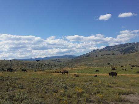 Wandering WY: Midsummer in Yellowstone National Park
