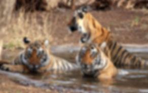 Tiger Safari in India by Lemon Holidays