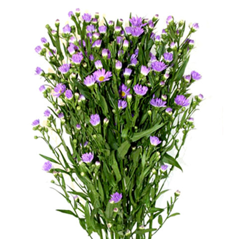 Spring aster purple