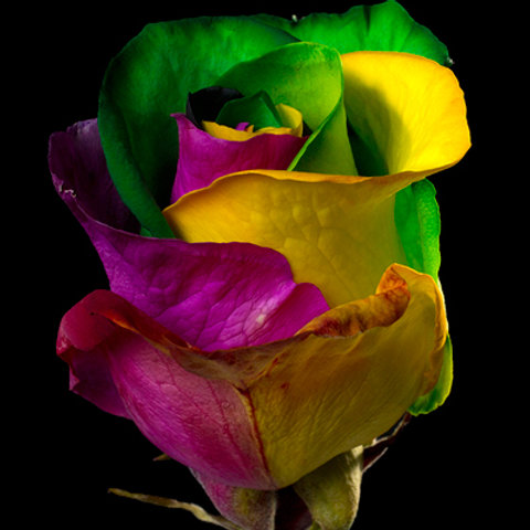 Tinted Rainbow Rose