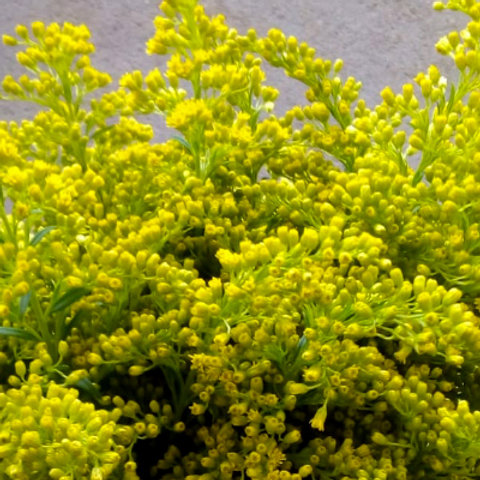 Solidago yellow
