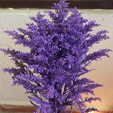 Solidago purple