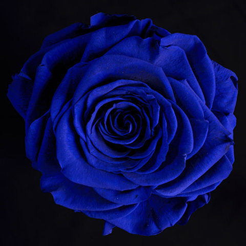 Tinted Blue Rose
