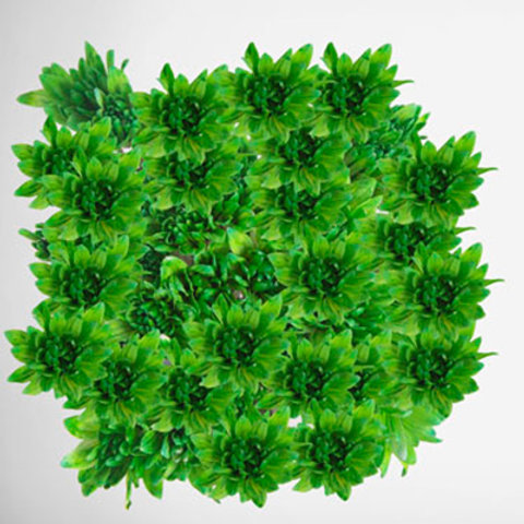 Tinted Chrysanthemum Green