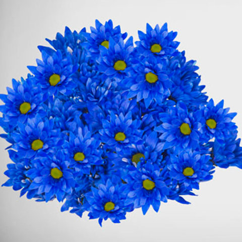 Tinted Blue Daisy